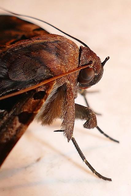 Papillon (Serrodes campana femelle)