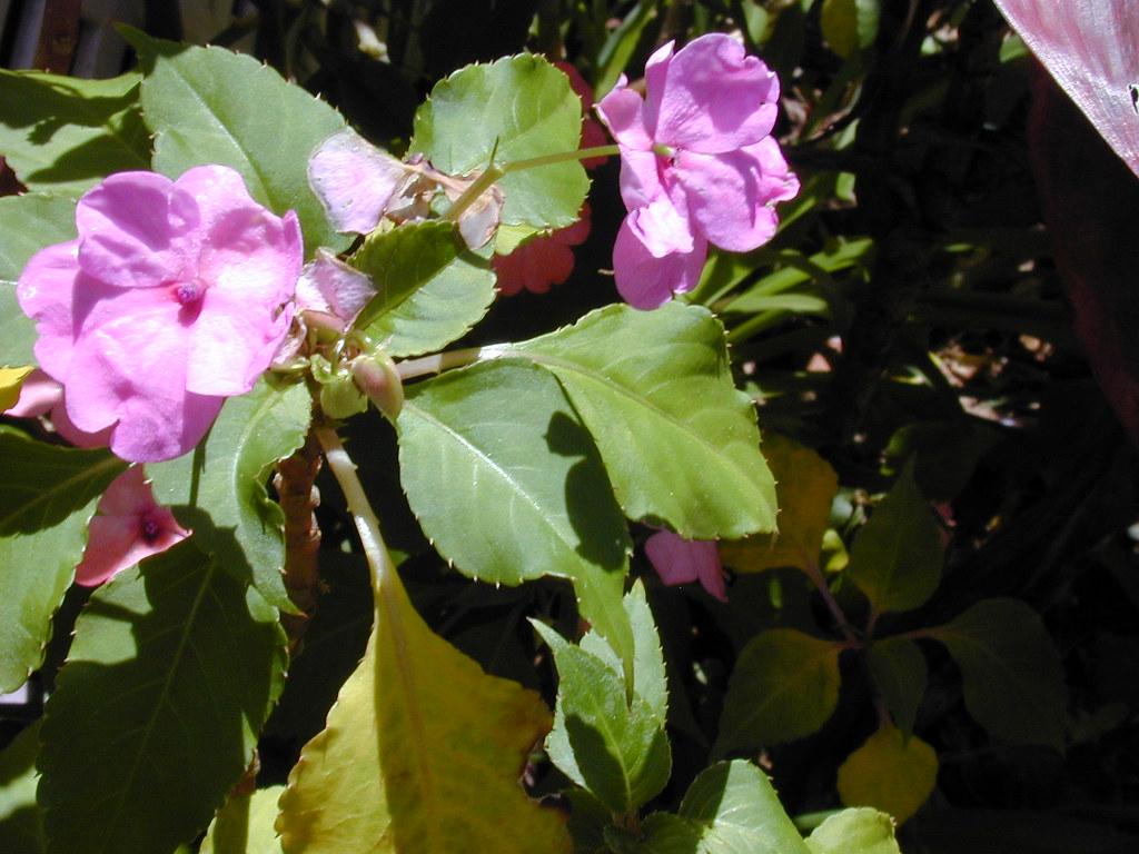 starr-030418-0105-Impatiens_walleriana-flowers-Makawao-Maui