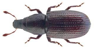 Caulotrupis aeneopiceus (Boheman 1845) Syn.: Caulotrupodes aeneopiceus Boheman, 1845; Pseudophloeophagus aeneopiceus (Boheman, 1845) | by urjsa