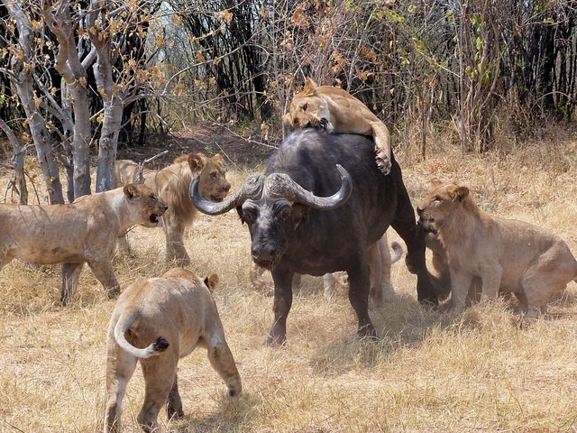 Leones cazando un búfalo en Savuti (Botswana)