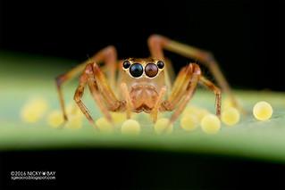 Jumping spider (Parabathippus sp.) - DSC_6897