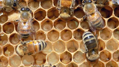 FILE NAME: 26174465832_7c32e82073.jpg  CAPTIONS IN DIFFERENT LANGUAGES: EN: DE: SV: Bi larver - fotokredit till nicephotog - Flickr FI:   LINK IN CAPTION: https://www.flickr.com/photos/nicephotog/26174465832/in/photolist-FSWYME-oFjrdD-cmDxz7-jduVQE-CgNnp5-feUacU-24XYasR-f4Ag1H-2kDQho5-7v9RiG-25VtWVf-2jPEwvX-2ipiSgA-2jPEwsa-2jyrfAk-2hcfiB9-H5ESev-GZZY9Y-UXGvwm-JoPvim-2ipjWRX-5wMthr-LQ3xHn-2atK5go-29qQHW1-9xuHwC-8tYYyQ-26zP8WA-8tVToP-c6AJyE-KKjPMG-bY9Z1j-dV2nz3-Sn7vyV-2jyqeM2-wLj3kj-2iXcgSW-2iXco1x-Se84Tw-2jymWkS-2hccDNZ-WaLWmg-KbdWVV-24fTjPR-wLiBdN-VUXPwj-w6Uo1d-2hceoYh-pHXjBP-gSPUnC  IMAGE ADDRESS: https://live.staticflickr.com/1647/26174465832_7c32e82073.jpg  DOWNLOAD PLATFORM: Flickr  TITLE: Bees on uncapped brood around 8 to 10 days (attr-shr)  KEYWORDS: bee larvae, Party Bugs  AUTHOR: nicephotog - https://www.flickr.com/photos/nicephotog/  LINK TO AUTHOR'S PAGE: https://www.flickr.com/photos/nicephotog/  COMMENTS:  COPYRIGHT: nicephotog - CC BY-SA 2.0  THIS INFORMATION WAS VALID ON 2.4.2021