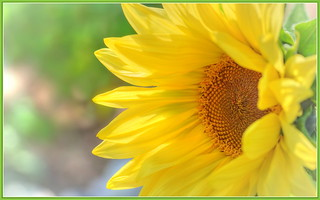 Sunflower Happiness | by tdlucas5000