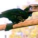Ceratogymna atrata - Photo (c) Josh More, algunos derechos reservados (CC BY-NC-ND)