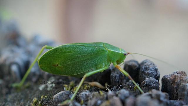 Saltamontes hoja verde
