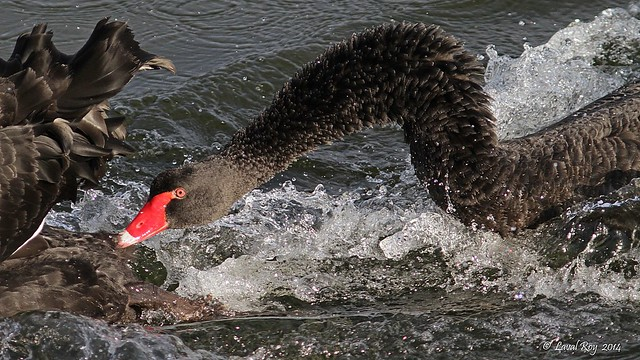 1.00280 Cygne noir / Cygnus atratus / Black Swan