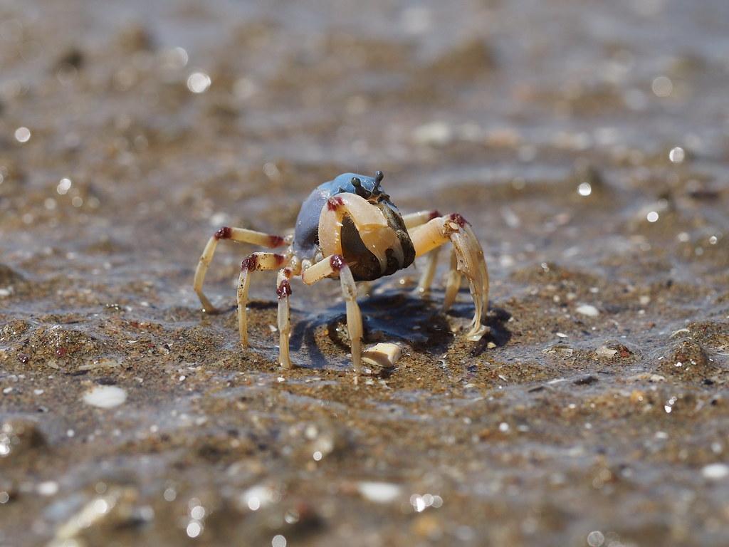 Soldier Crab, Brisbane, Australia