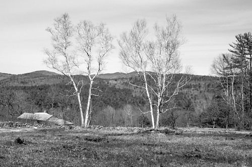 trees blackwhite pair newengland nh hills salisbury birch