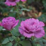 おはようございます! +1313   Good morning my friends!  今日も薔薇をお届け♪  『#ブルーリバー』#Blueriver  ~Rose Park Relaxation Space~  ラベンダー色から赤紫に変化 美しい薔薇ですね!  ドイツ Kordes 1984年作出 #ばら公園いこいの広場 にて 2014.7. 撮影  いつもありがとうございます!  今日も宜しくお願いします!  笑顔と感謝忘れずに(^-^)  #flowers #roses #nice #parks