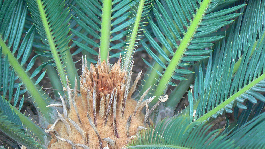 Difference Between Cycas And Pinus
