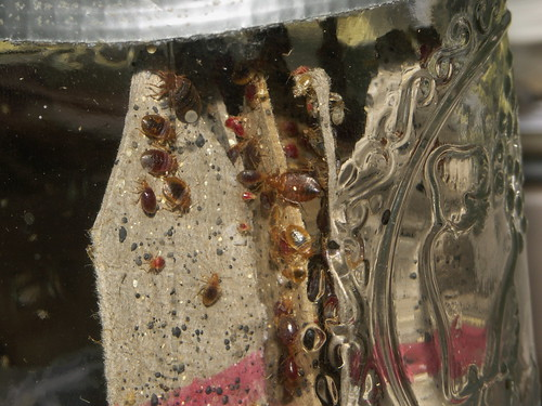 Bed bug colony | by louento.pix