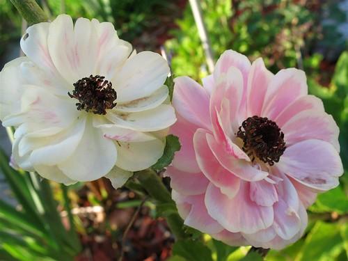 Ranunculus   by joeysplanting