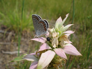 Karner Blue Butterfly - Male | by Huron-Manistee National Forests