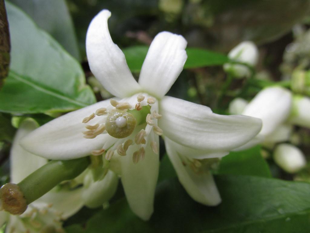 starr-150301-0357-Citrus_sinensis-Washington_navel_flowers-Hawea_Pl_Olinda-Maui