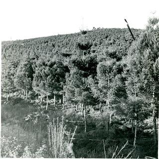 Hoop Pine plantation 1940/1941 establishment.  Low pruning - June 1949