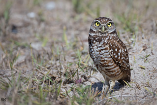 Burrowing owl | by Brummel2010