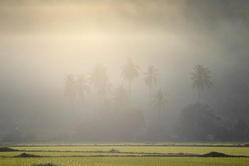 morning mist water fog sunrise indonesia id palmtrees ricefields ricepaddy nusatenggarabarat jereweh