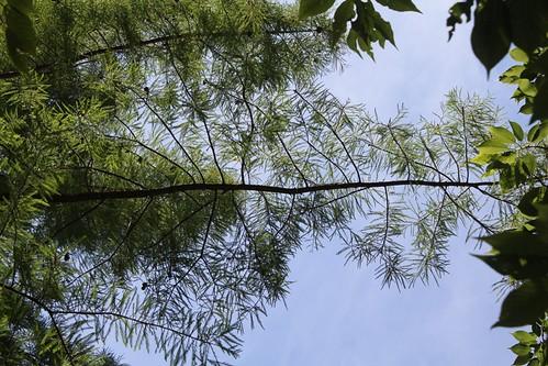 Taxodium distichum - cyprès chauve, cyprès de Louisiane  25141829312_6536c29a25