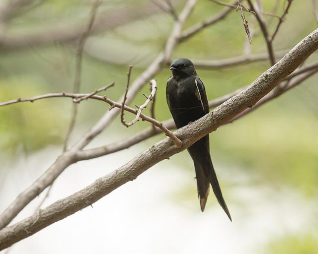 Eastern Saw-wing Swallow, Psalidoprocne orientalis, Bridal Veil Falls, Chimanimani, Zimbabwe