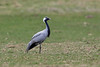 Demoiselle Crane, Mockerkin Tarn, Cumbria, UK by Terathopius
