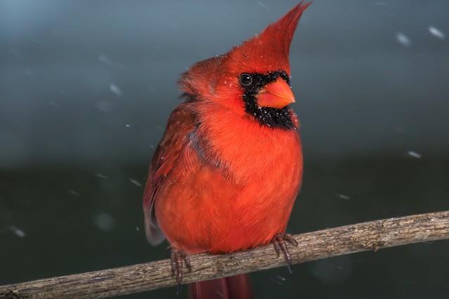 Northern Cardinal (cardinalis cardinalis)   Lexington, KY   FEATURED