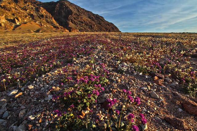 Wildflower Superbloom, Death Valley, California