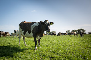 Dairy Cow | by Farmwatch