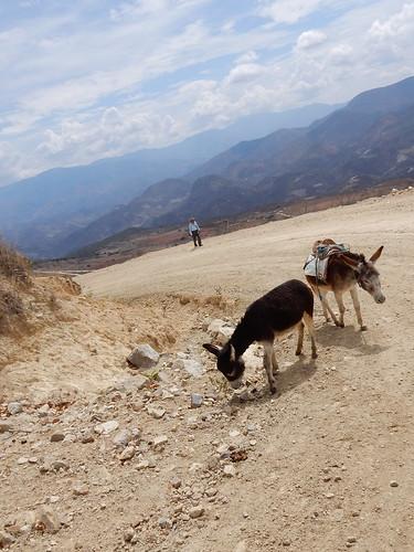 Onderweg terug naar Mitla - ezeltjes