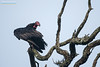Red-headed Vulture (Sarcogyps calvus) by M V Shreeram
