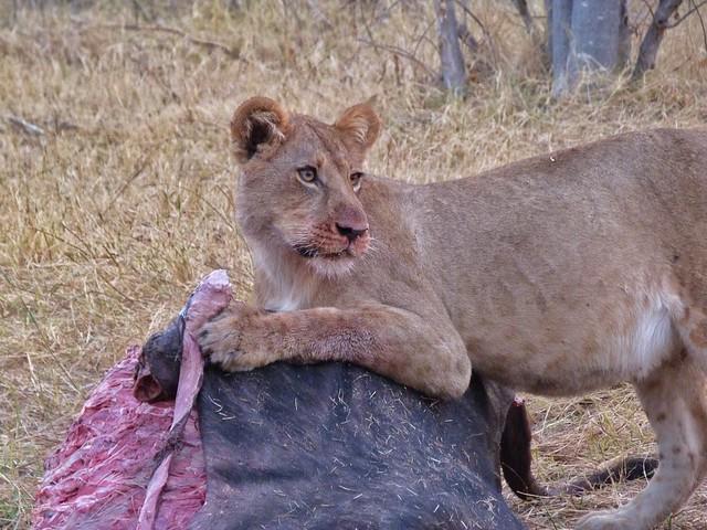 Leona comiendo tras cazar un búfalo en el Parque Chobe de Botswana (Big Five)