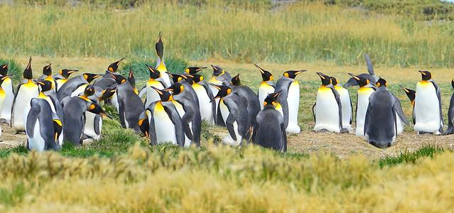 Pingüino Rey / King Penguin / Aptenodytes patagonicus