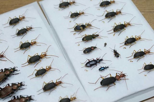きのうの壁堀り  #insect #insects #caraboidea #groundbeetle #beetles #specimen #nature #昆虫