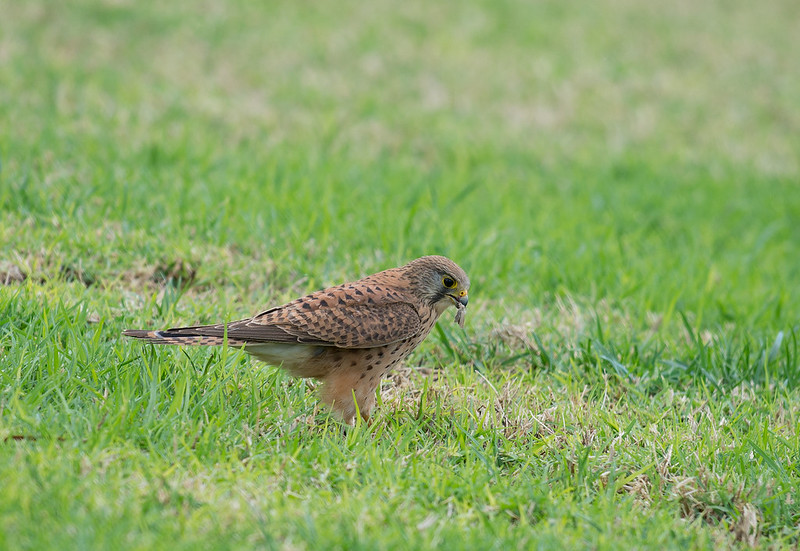 Kestrel landing on the ground
