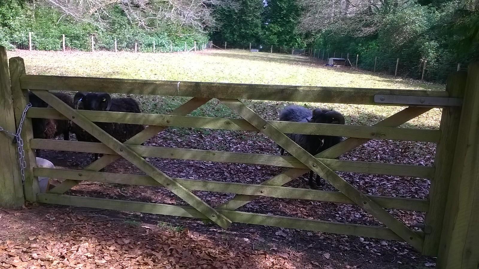 Peekaboo! Black sheep, Surrey