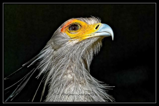 Secretary bird, Secrétaire