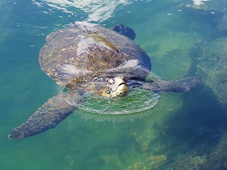 Zeeschildpad - Sea turtle checking me out
