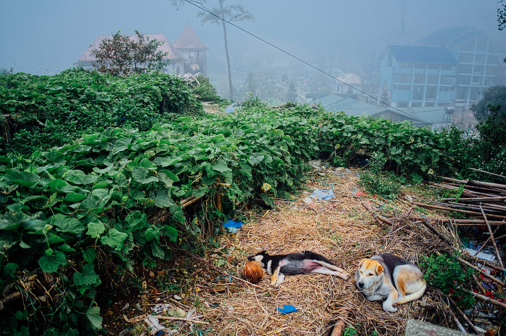 Sleeping dogs in Tam Dao