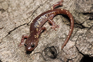 Arboreal Salamander (Aneides Lugubris) San Gabriels, February 2016   by Jeremy Wright Photography