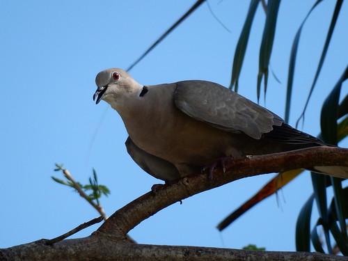 Cancun - camping - duif