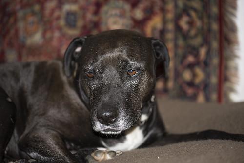 110-Saphira-Ich will doch kein Kampfhund sein!