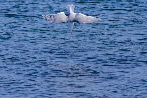 blue sea white bird nature water wow landscape lunch downtown bestof gull dive shore boardwalk bellingham pugetsound washingtonstate lense divebar dexhorton