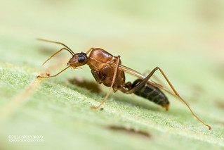 Winged ant (Camponotus sp.) - DSC_0682