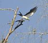 Swallow-tailed Kites (Elanoides forficatus) by ehsimons