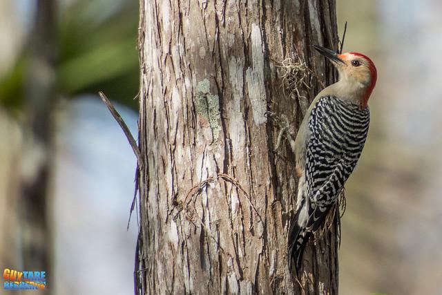 Red-bellied woodpecker - Pic à ventre roux - Melanerpes carolinus