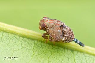 Planthopper nymph (Issidae) - DSC_8230