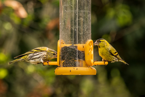 Pair of Siskins Feeding | by www.craigrogers.photography