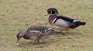 Wood Ducks | by Craig Schriever