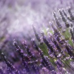 In The Lavender Field. HBW!