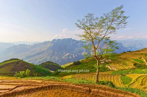 asia asian landscape nature plant tree sky mountain hill hillside terraces transplantingseason sowingseason afternoon sunlight color canon canoneos1dsmarkiii carlzeissdistagont3518ze vietnam làocai bắchà lùngcải phongcảnh cảnhquan bầutrời bầutrờixanh thiênnhiên ruộngbậcthang mùacấy đổnước núi đồi ngọnđồi sườnđồi thựcvật cây peace bluessky lùngsui northvietnam northeastvietnam vietnamlandscape vietnamscenery vietnamscene scenery