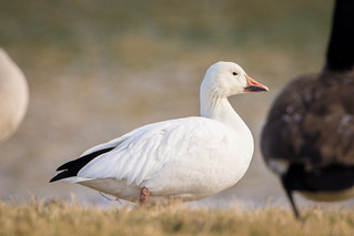 Snow Goose (Chen caerulescens) | by acryptozoo
